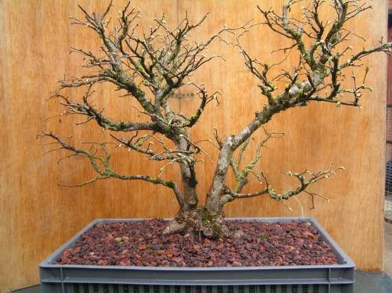 bonsa 239 cr 233 ation fiche d entretien du noisetier corylus avellana