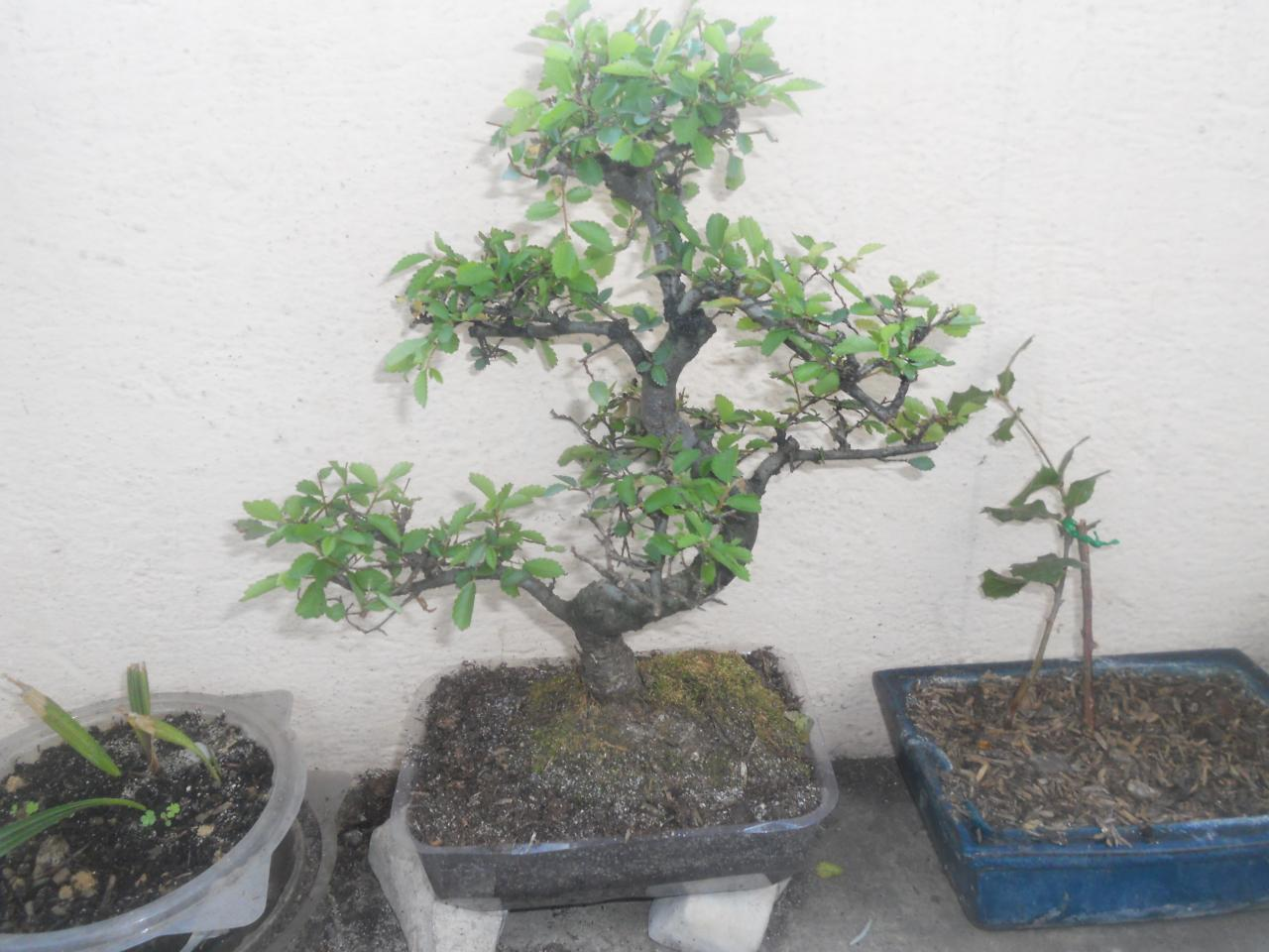 Bonsa cr ation l 39 album photos feuillus - Orme de chine bonsai ...