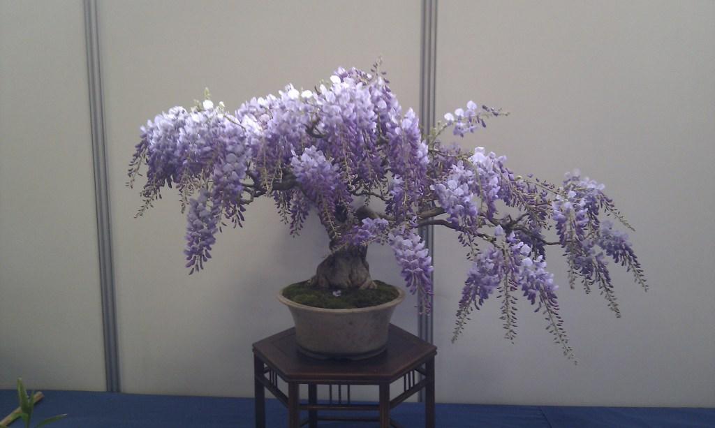 bonsa cr ation fiche d 39 entretien du glycine wisteria