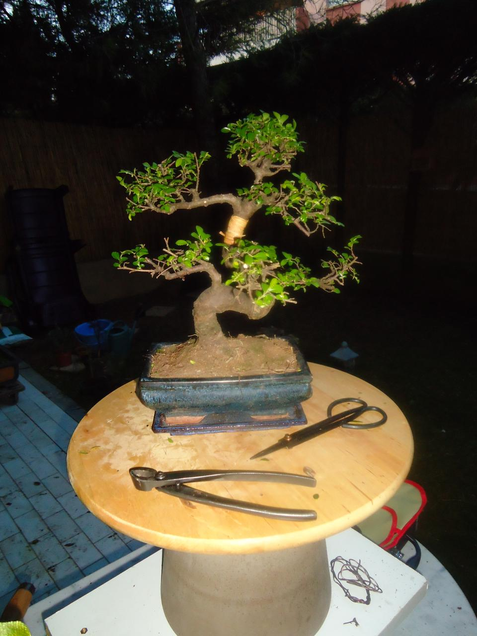 Bonsa cr ation orme de chine - Orme de chine bonsai ...