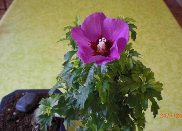 Bonsa cr ation fiche d 39 entretien du hibiscus hibiscus for Entretien hibiscus exterieur