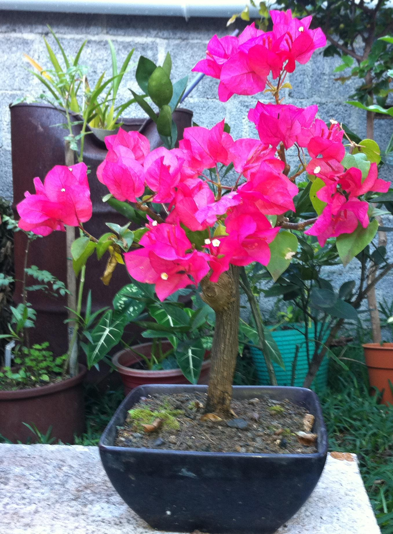 Photo du bonsaï : Bougainvillé