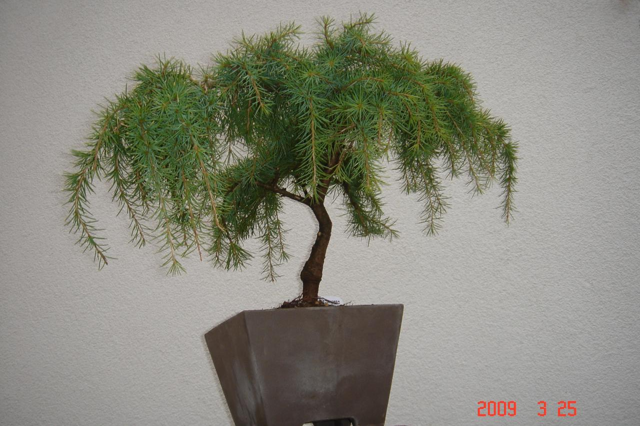 Photo du bonsaï : Cedrus deodora glauca