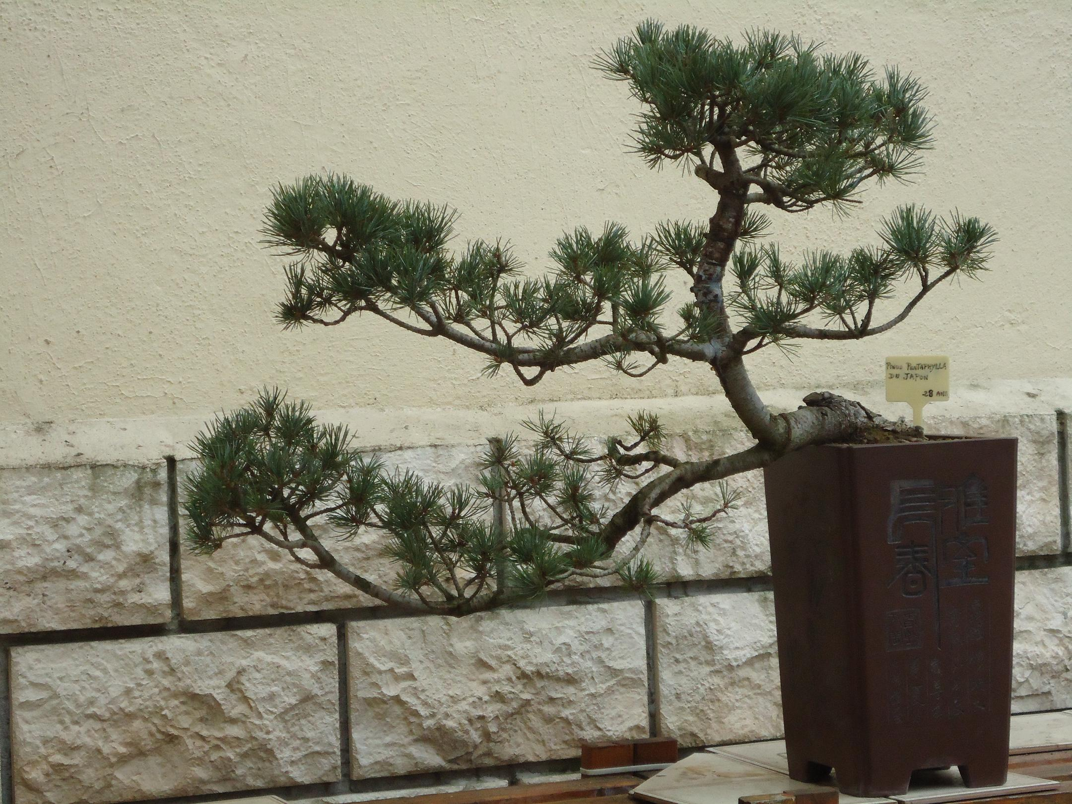 Photo du bonsaï : Pinus Pentaphylla