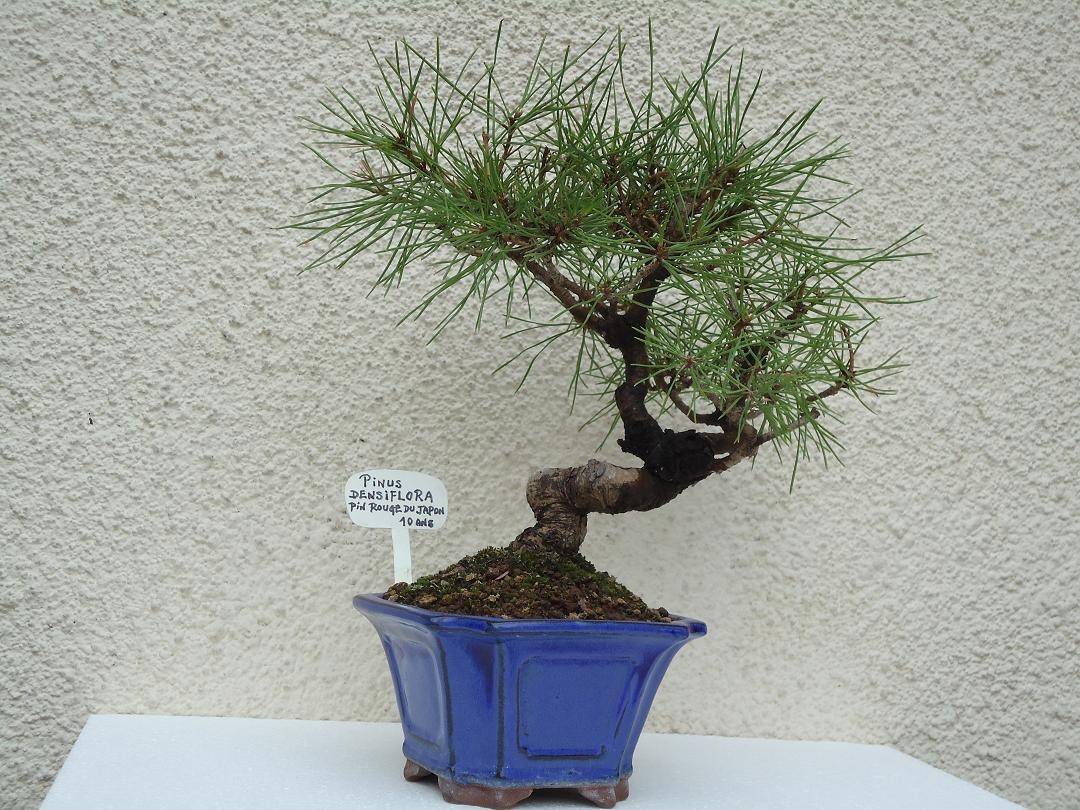 Photo du bonsaï : PINUS  DENSIFLORA