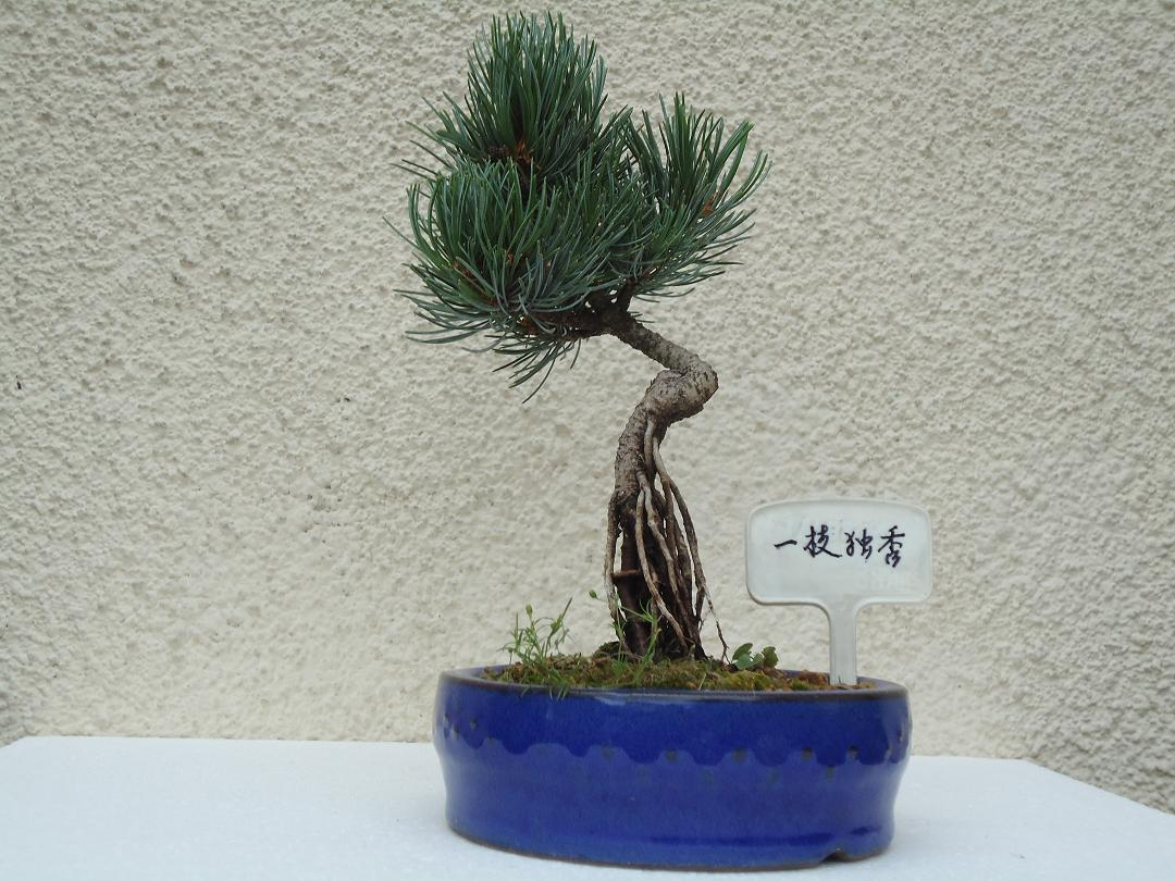 Photo du bonsaï : PINUS  PARVIFLORA