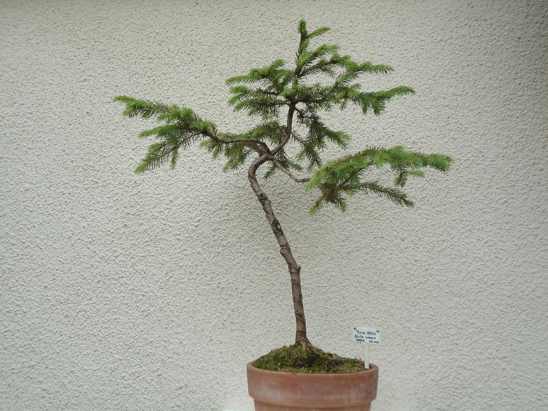 Photo du bonsaï : PICEA  ABIES