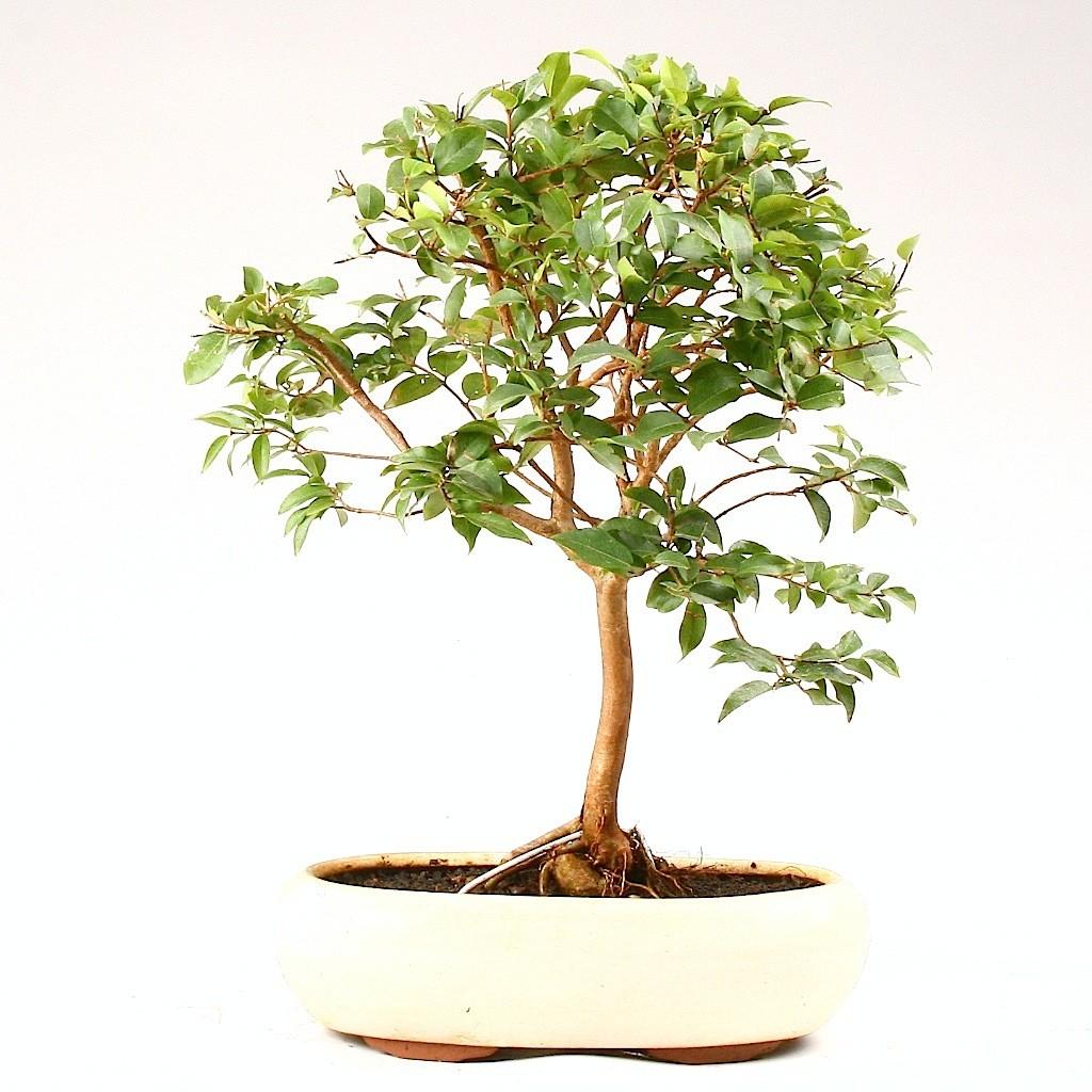 bonsa cr ation fiche d 39 entretien du eugenia eugenia myrtifolia syzygium paniculatum. Black Bedroom Furniture Sets. Home Design Ideas
