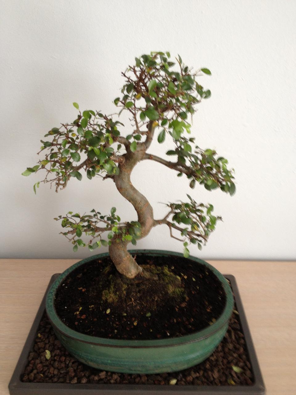 bonsa cr ation fiche d 39 entretien du orme de chine ulmus parvifolia. Black Bedroom Furniture Sets. Home Design Ideas