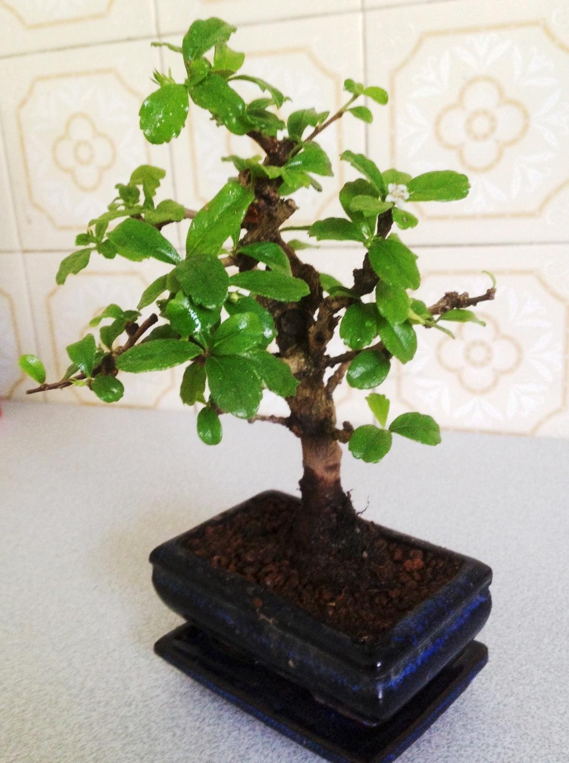 Bonsai Creation Fiche D Entretien Du Carmona Ehretia Microphylla