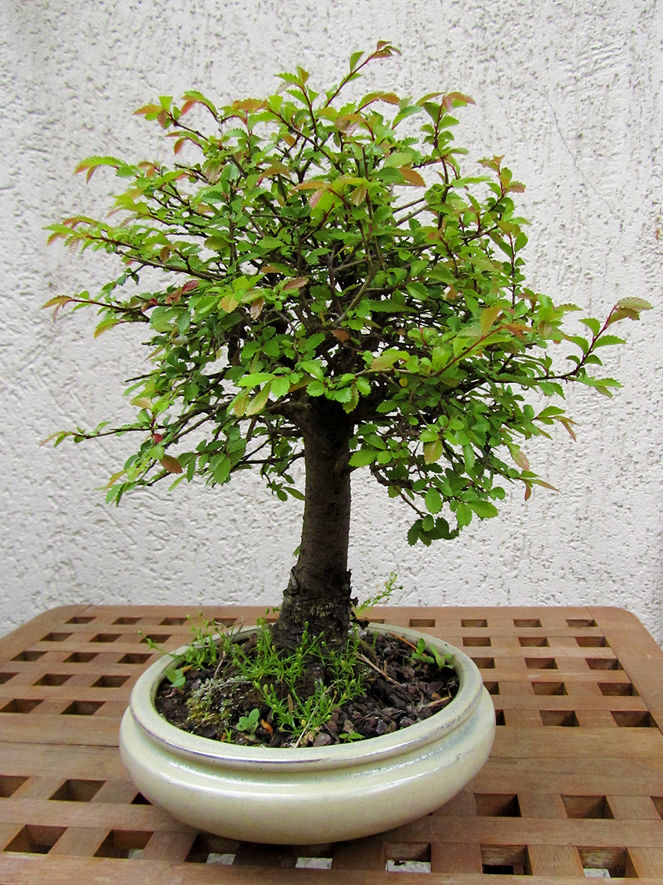 Bonsa cr ation l 39 album photos collection des membres - Orme de chine bonsai ...