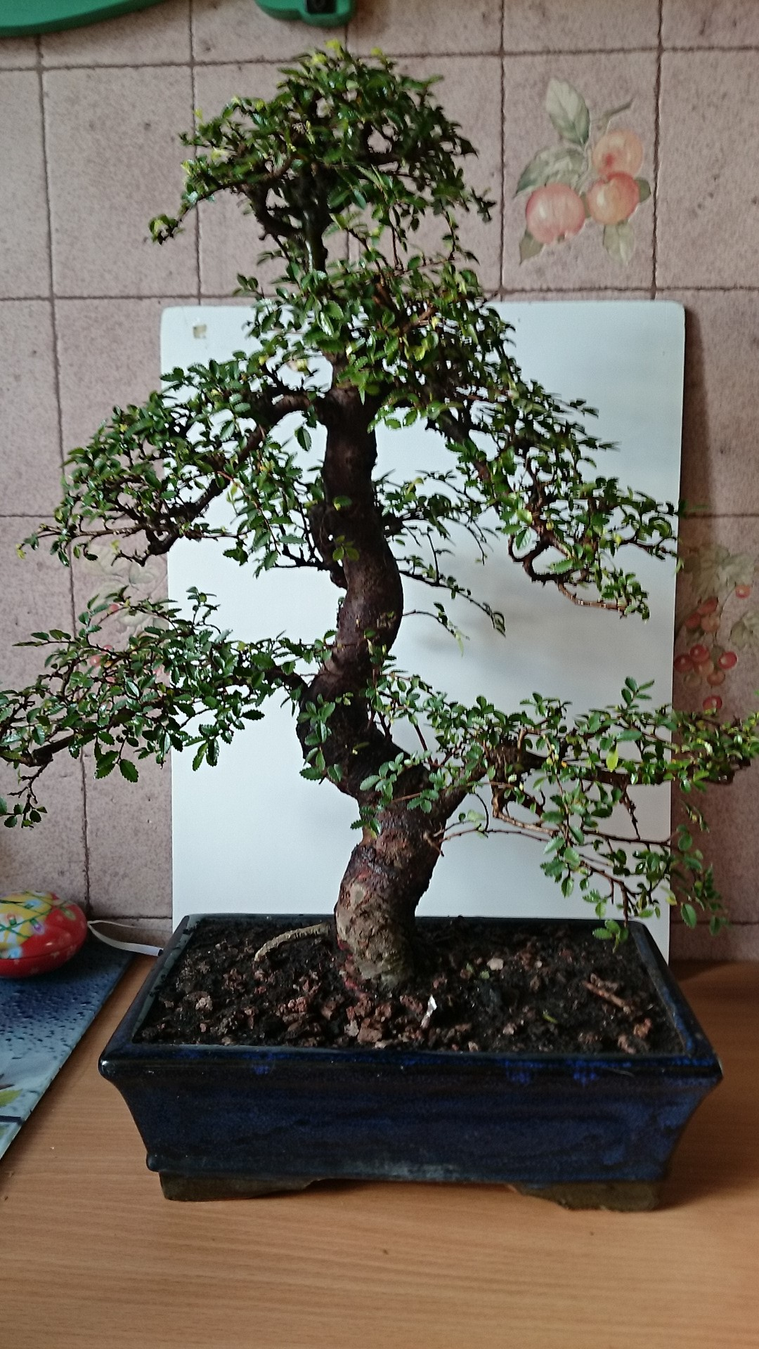 Bonsa cr ation l 39 album photos autres - Orme de chine bonsai ...