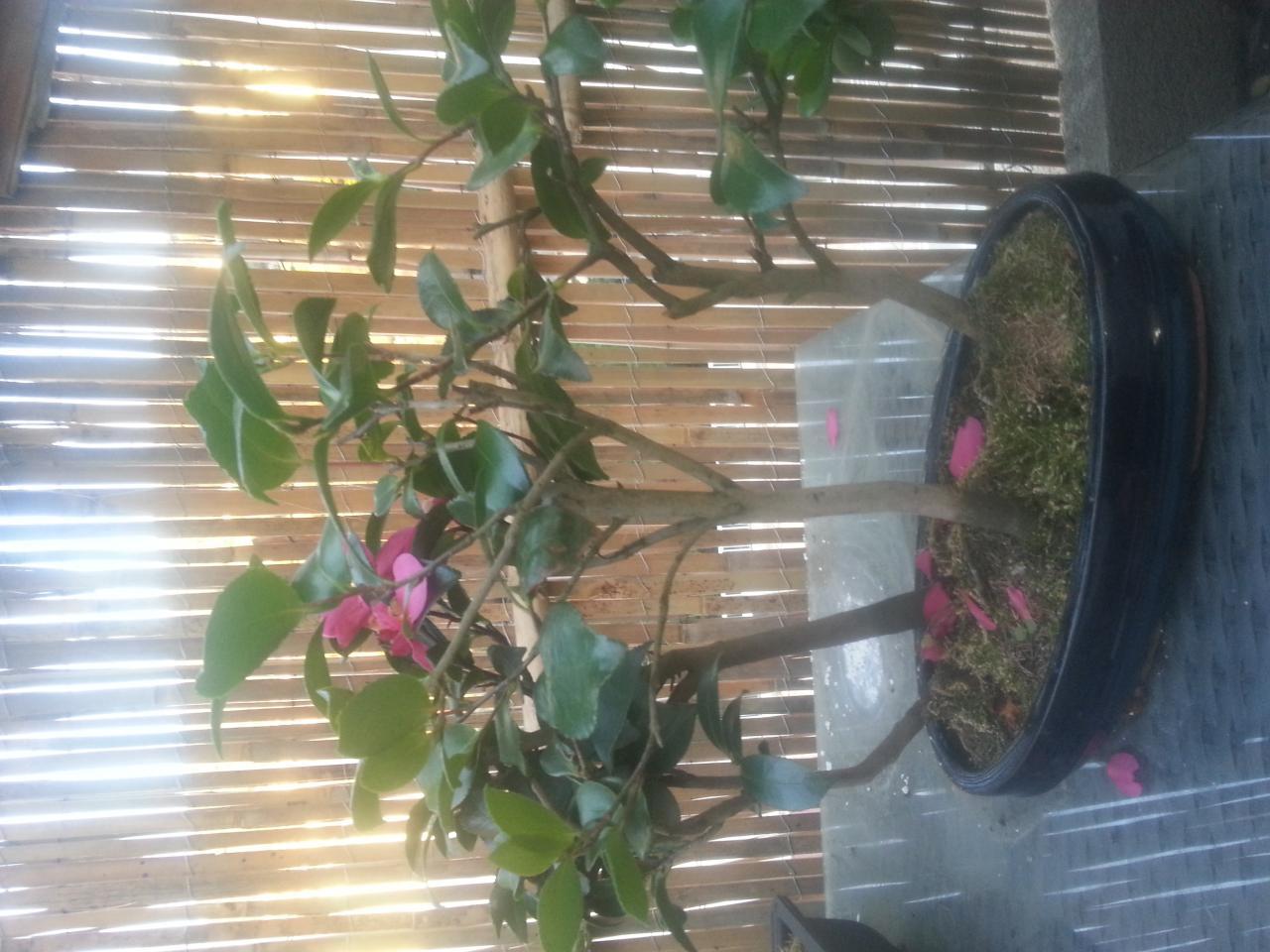 bonsaï création | fiche d'entretien du camélia (camellia japonica)