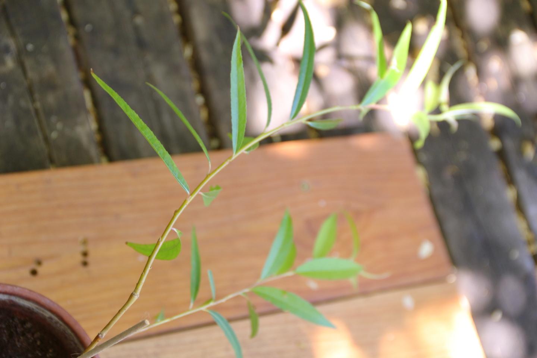 Bonsaï Création | Fiche d\'entretien du Saule pleureur (Salix Babylonica)