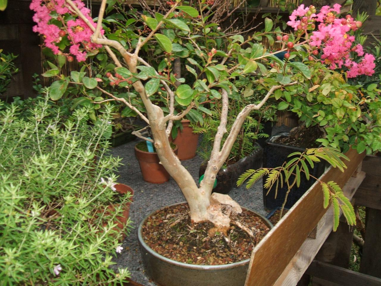 bonsa cr ation fiche d 39 entretien du lilas syringa vulgarisa. Black Bedroom Furniture Sets. Home Design Ideas