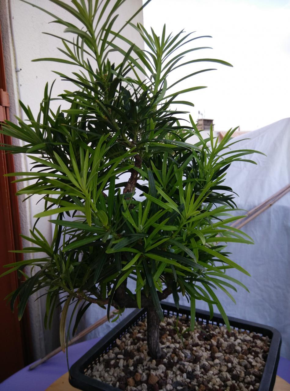 bonsa cr ation fiche d 39 entretien du podocarpus. Black Bedroom Furniture Sets. Home Design Ideas