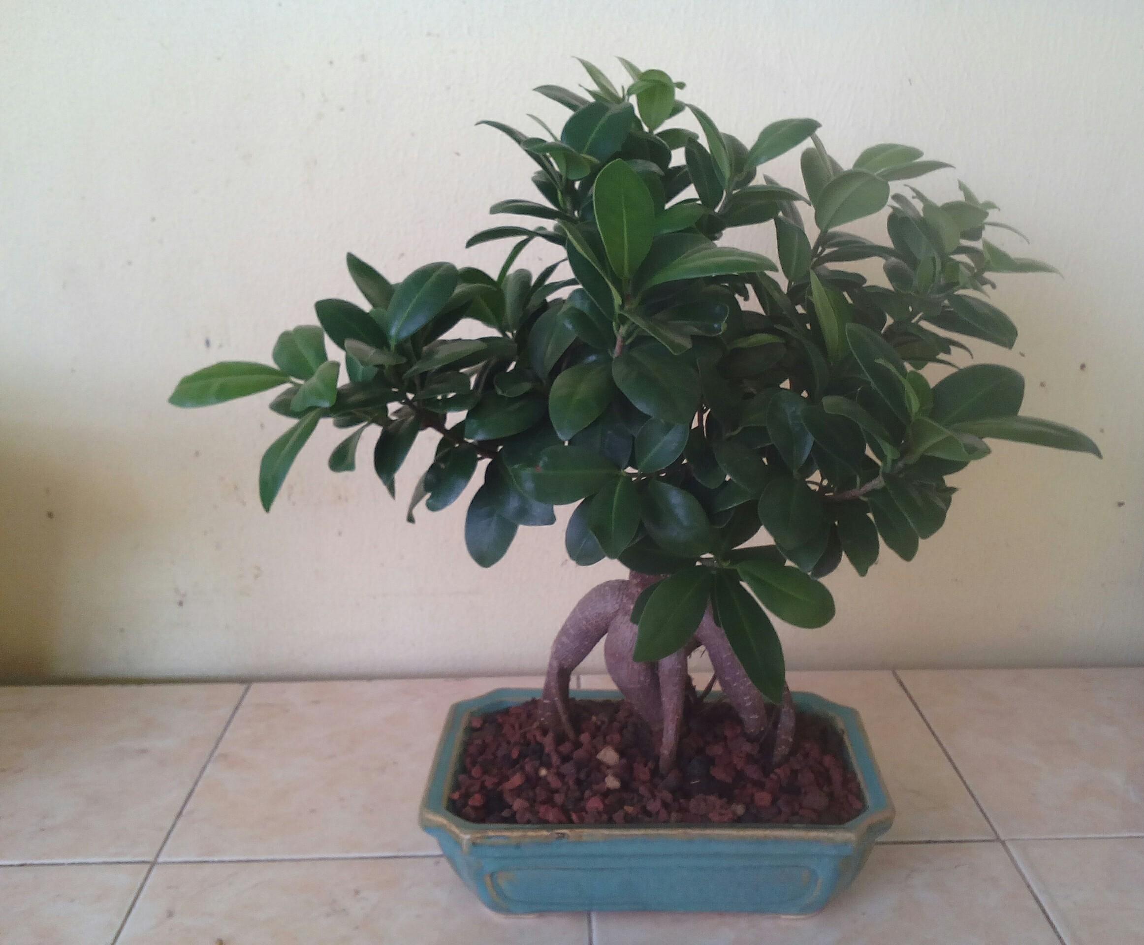 Photo du bonsaï : Ficus ginseng
