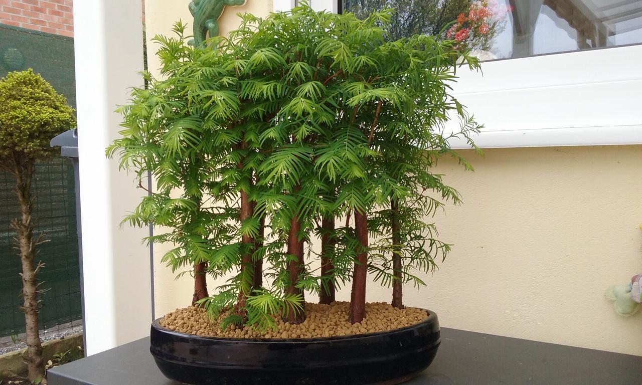 Bonsaï Création | Fiche d\'entretien du Metasequoia (Metasequoia ...