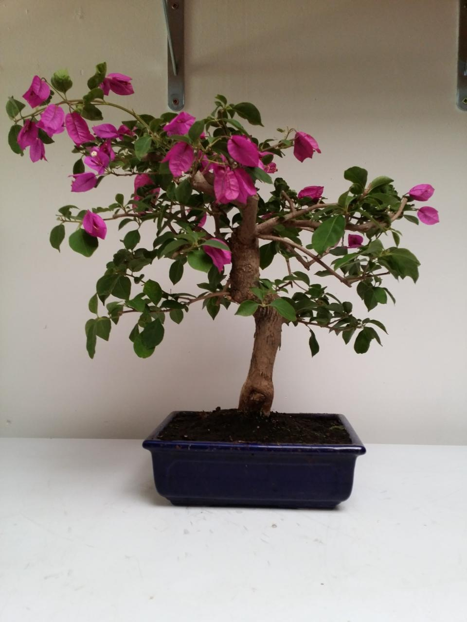Photo du bonsai : Bougainvillée
