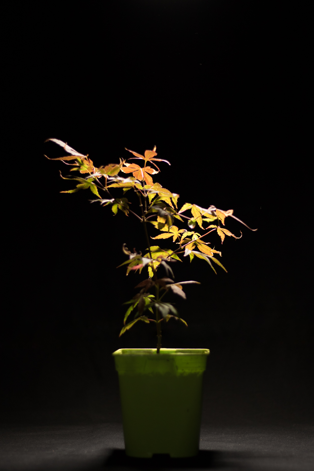 Photo du bonsaï : Acer Palmatum