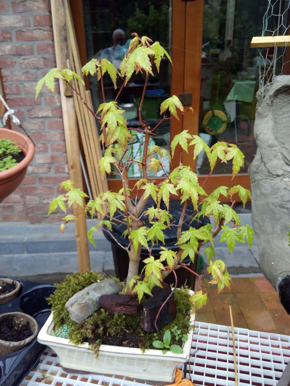 Erable Du Japon Petit bonsaï création | fiche d'entretien du erable du japon (acer