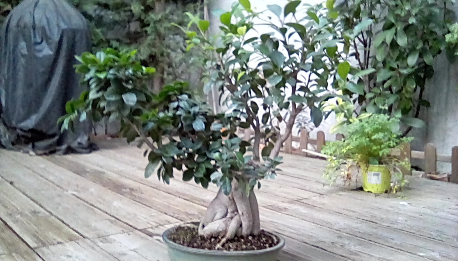 Photo du bonsaï : Ficus